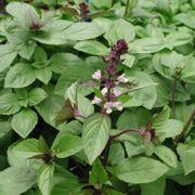 Set22 Thai Basilikum - Ocimum basilicum