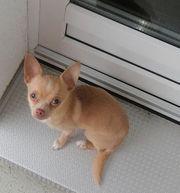 Chihuahua Rüde simba