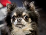 Süßer Langhaar Chihuahua abzugeben
