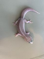Dringend Leopardgeckos zu abholung