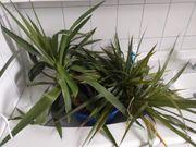 Abschnitte Drachenbaum Yucca palme