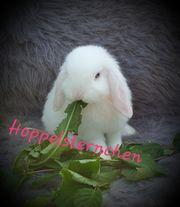 Mini lop NHD Zwergwidder Kaninchen