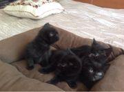 Drei Kätzchen männlich und ein