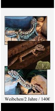 2 Leopardgecko Weibchen abzugeben