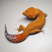 leopardgeckos 3 1 zur Abgabe