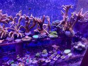Korallen Update SPS LPS Meerwasser