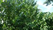 junge Bio-Pfirsichbäume 170cm - riesiger Ertrag
