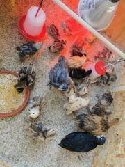 Jung Hühner und Kücken abzugeben