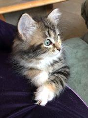 Reinrassiges Sibirisches Kitten Glückskätzchen