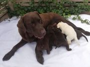 Labrador Welpen in braun geimpft