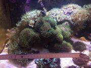 Steinaufbau mitsamt Korallen Cribrinopsis crassa -