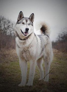 Hunde - SWAN Malamut Mix - sehr bewegungsfreudiger