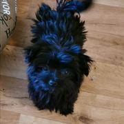 8 Monate alte Yorki chihuahua