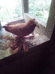 Tauben mit Fußbefiederung