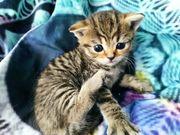 BKH - Kätzchen Mischlinge Bad Muskau