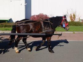 Pferde - Polnischer Kaltblutwallach Filar