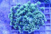 Koralle Meerwasser Goniopora