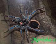 Mehrere Vogelspinnen mit Terrarium gegen