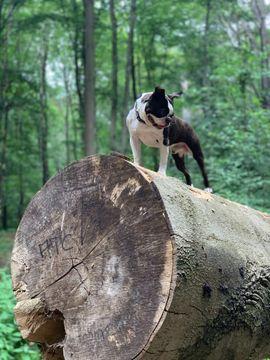 Bild 4 - Gesunde Deckrüde Boston Terrier - Burgdorf
