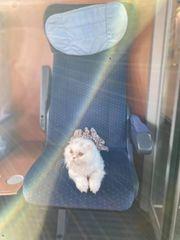 Perser Katze verkauft