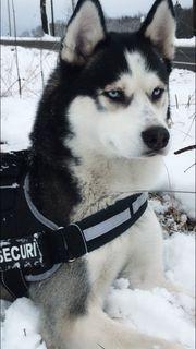 Siberian Husky Deckrüde mit Hellblauen