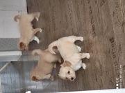 Mischling Welpe Puppy