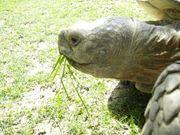Riesenschildkröten Spornschildkröten Schildkröten NZ 19