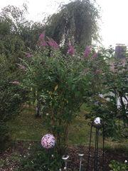 Schmetterlingsflieder lila