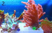 Meerwasser Korallen Update 1 6