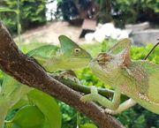Jemenchamäleon - Camaeleo Calyptratus