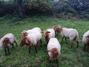 Junge Schafböcke aus Hobbyzucht