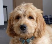 MEDIUM Goldendoodle Welpen Kleinpudel-Vater Golden-Retriever-Mutter
