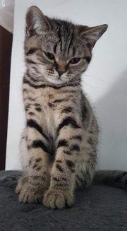 Katze kitten Britische Kurzhaar Tabby