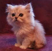 BLH Kitten Katzenbaby - Reserviert