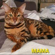 Wurfankündigung Bengal Kitten Katze Bengal
