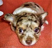 Bunte Chihuahua Welpen ab zu