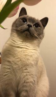 Eine BKH Katze sucht einen