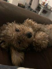 Yorkshire-Terrier Mischlinge