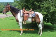 Pinto Paint Horse Wallach