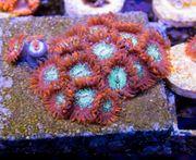 Korallen Ableger LPS SPS Zoanthus
