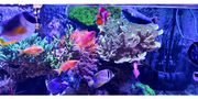 Anemone Bubble Tip Koralle Meerwasser