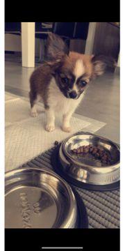 Chihuahua mini langhaarig