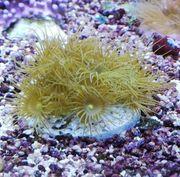 Meerwasser 4 Korallen Ableger im