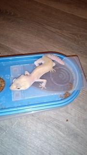 1 0 Leopardgecko