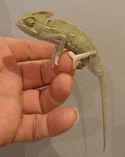 Jemen Chamäleon NZ Männchen 8cm