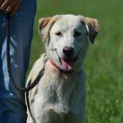 Labradormischling - 8 Monate - weiblich