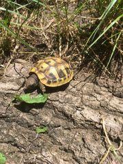 Griechische Landschildkröten THB Nachzuchten 2017