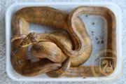 Gartenboa Hundskopfboa - Corallus hortulanus 1