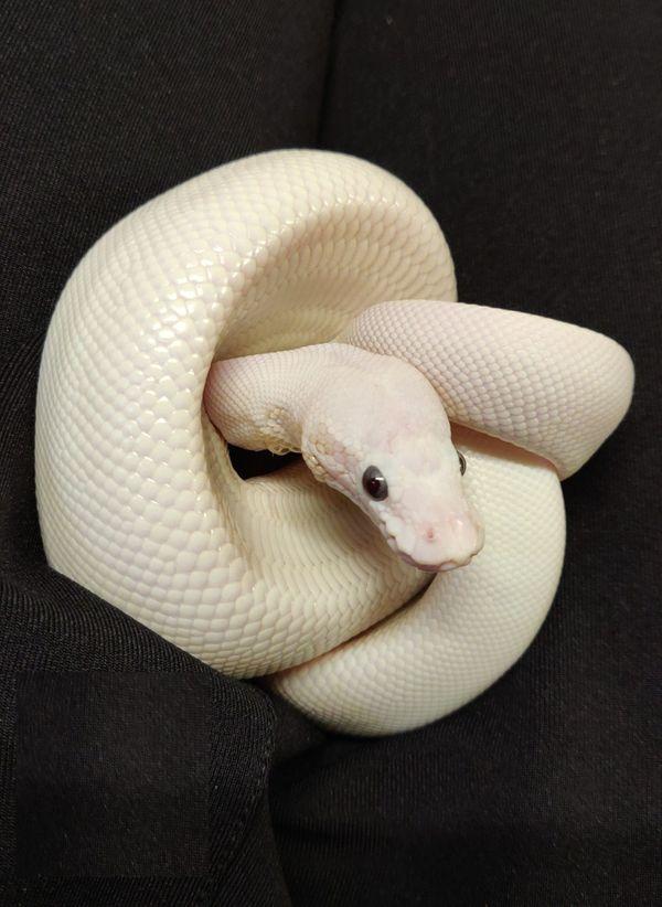 Blue eyed Lucy Python regius