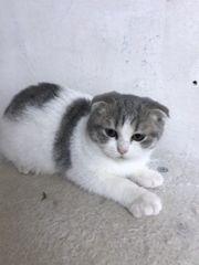 Wunderschöne Skh Bkh Kitten